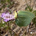 Cleopatra butterfly. Limonera