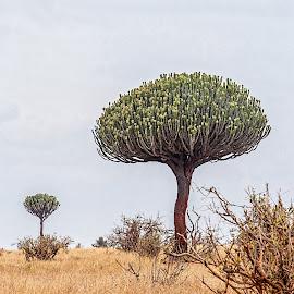African tree by Vibeke Friis - Nature Up Close Trees & Bushes ( interesting trees, tanzania, candelabra tree,  )