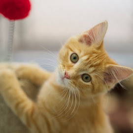 Choose Me.... by Martha Pope - Animals - Cats Kittens ( orange, kitten, cat, shelter, adopt, rescue )