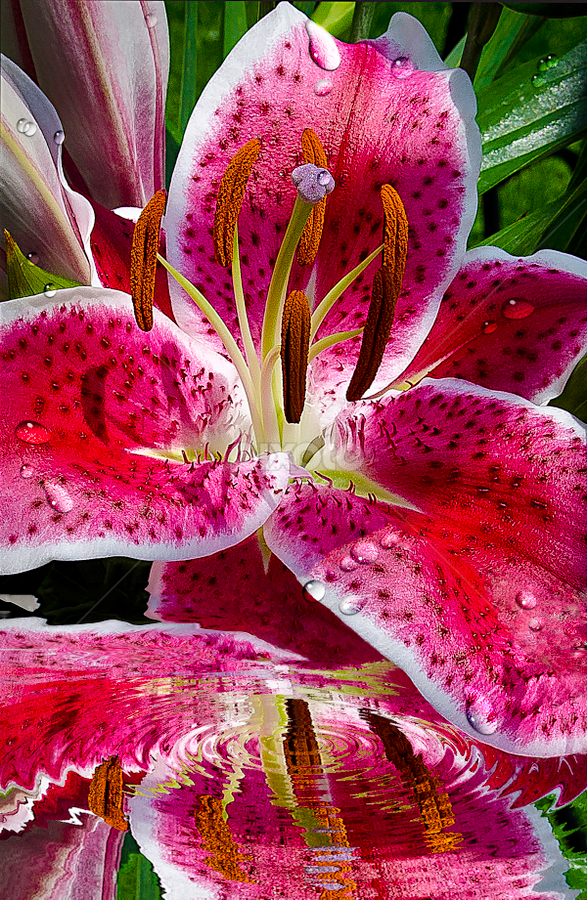 Reflections of Lilly by Irma Mason - Flowers Single Flower ( water, water ripples, reflection, bright pink, nature, ripples, pink, rain drops. water drops, beauty, flowers, lilly, rain, , Spring, springtime, outdoors )