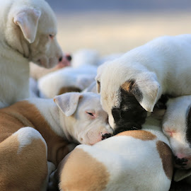 Puppy pile up! by Lu Townsend - Animals - Dogs Puppies ( animals, puppies, dogs )