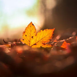 Autumnal Soul by Andrea Pollini - Nature Up Close Leaves & Grasses ( autumn leaves, autumn, autumn colors, autumal, leaves, conceptual )