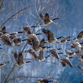 by Blaine Stauffer - Animals Birds ( flying, geese, flock, bird, fly, flight )