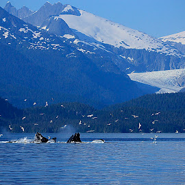 Feeding frenzy by Adam Taylor - Novices Only Wildlife ( amazing, alaska, bubblenet, glaciers, scenic )