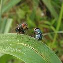 Fighting Flies