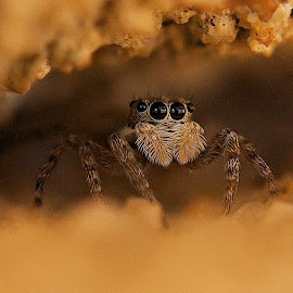 by James Blyth Currie - Animals Insects & Spiders ( jumping spider )