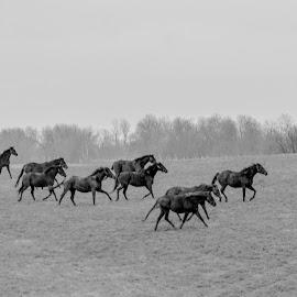 Winter Run by Robert Klein - Animals Horses ( monochrome, horses, herd, bluegrass, kentucky, blue grass )