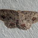 Casbia Moth