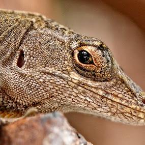 Lizard eye mirror by Sandy Scott - Animals Reptiles ( brown anole lizard, lizard eye reflection, reptiles, lizard, lizard portrait, lizard eye mirror, small reptiles,  )