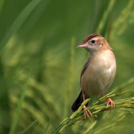 Oriental Skylark by Jayanta Pramanick - Animals Birds