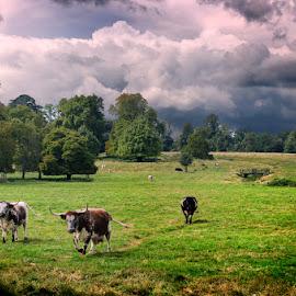 Wimpole Farm by Eduardo Menendez Mejia - Landscapes Prairies, Meadows & Fields ( farm, cambridgshire, wimpole, vacas, menendez, eduardo, nikon, d5100 )
