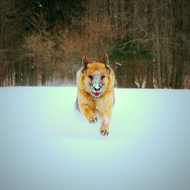 Here I Come! by Sue Delia - Animals - Dogs Running ( germen shepherd, hunterdon, snow, dog, run,  )
