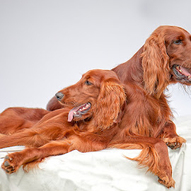 Irish Setters by Michel Bissonnette - Animals - Dogs Portraits ( dogs, irish setter,  )