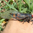 Firetail cicada.