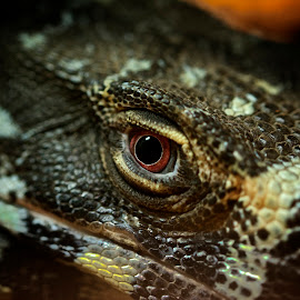 Lizard eye by Wade Tregaskis - Animals Reptiles ( lizard, zoo, glare, dark, eye )