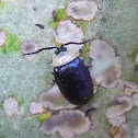 Jumping Leaf Beetle