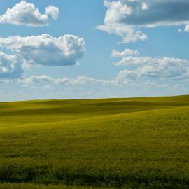 alberta canola field by Ryan Chornick - Landscapes Prairies, Meadows & Fields