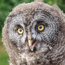 Young Owl by Garry Chisholm - Animals Birds ( bird, garry chisholm, nature, owl, wildlife, prey, raptor )