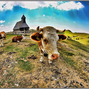 Cow by Simon Kovacic - Animals Other Mammals ( velika planina, pasture, church, slovenia, cow, cows,  )