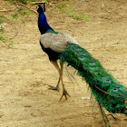 The Indian Blue peacock