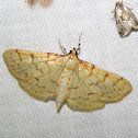 Ironweed Root Moth