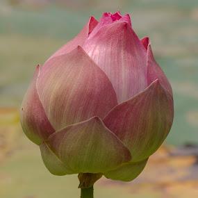 PINK LOTUS by Monish Kumar - Flowers Flower Buds (  )