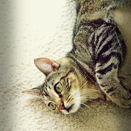 by Juan Yeyo - Animals - Cats Portraits (  )