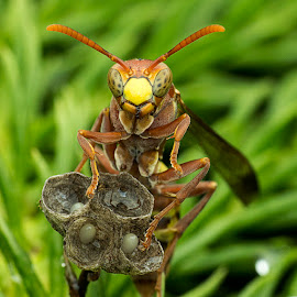 Wasp 150226A by Carrot Lim - Animals Insects & Spiders