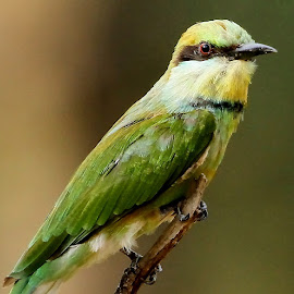 Green Bee-eater by Sankaran Balaji - Animals Birds