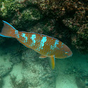 Blue-barred Parrotfish