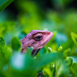 Chameleon by Amit Sarda - Animals Reptiles ( green, reptile, garden, portrait, animal )