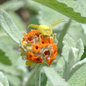 Yellow Crab Spider/ Flower Spider