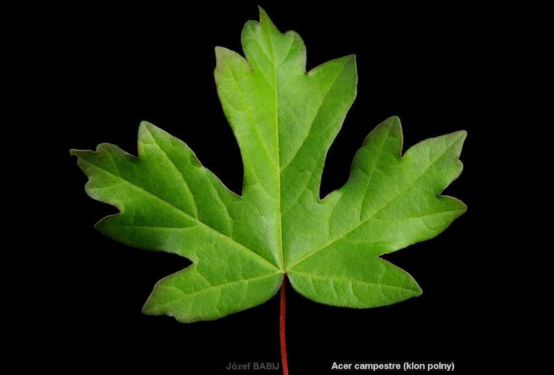 Acer campestre leaf - Klon polny liść