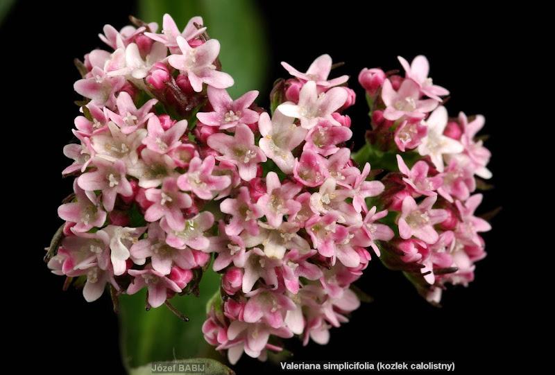 Valeriana simplicifolia flowers - Kozłek całolistny kwiaty