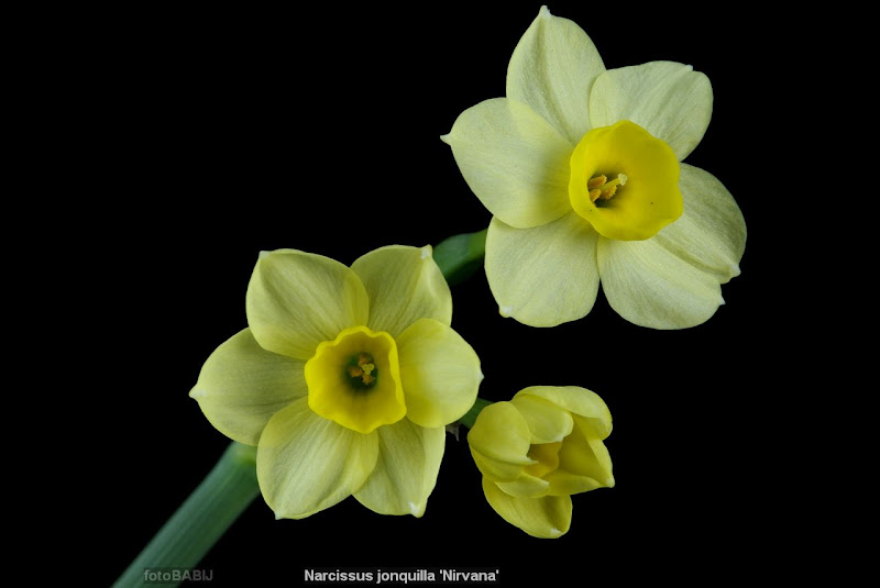 Narcissus jonquilla 'Nirvana' flowers - Narcyz żonkil kwiaty