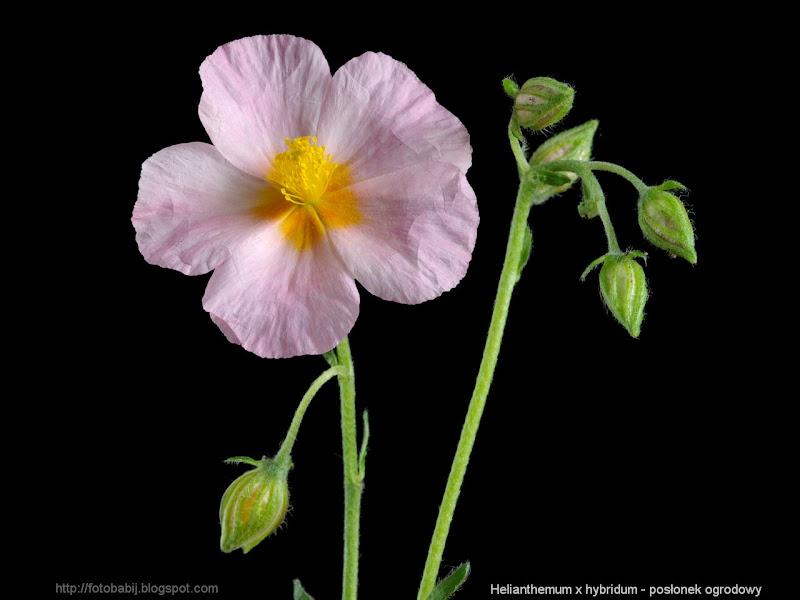 Helianthemum x hybridum flowers - Posłonek ogrodowy kwiaty