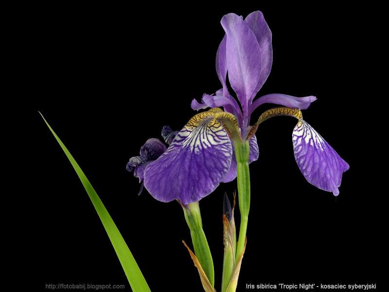 Iris sibirica 'Tropic Night' - Kosaciec syberyjski
