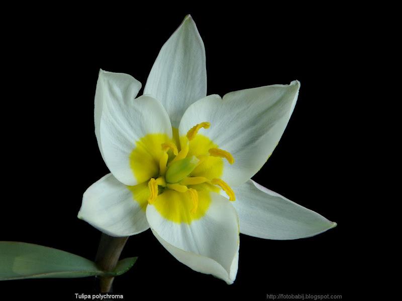 Tulipa polychroma flower - Tulipan botaniczny polychroma kwiat