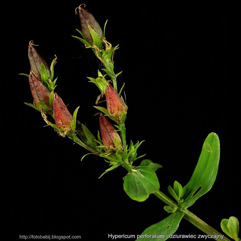 Hypericum perforatum fruit - Dziurawiec zwyczajny owoce