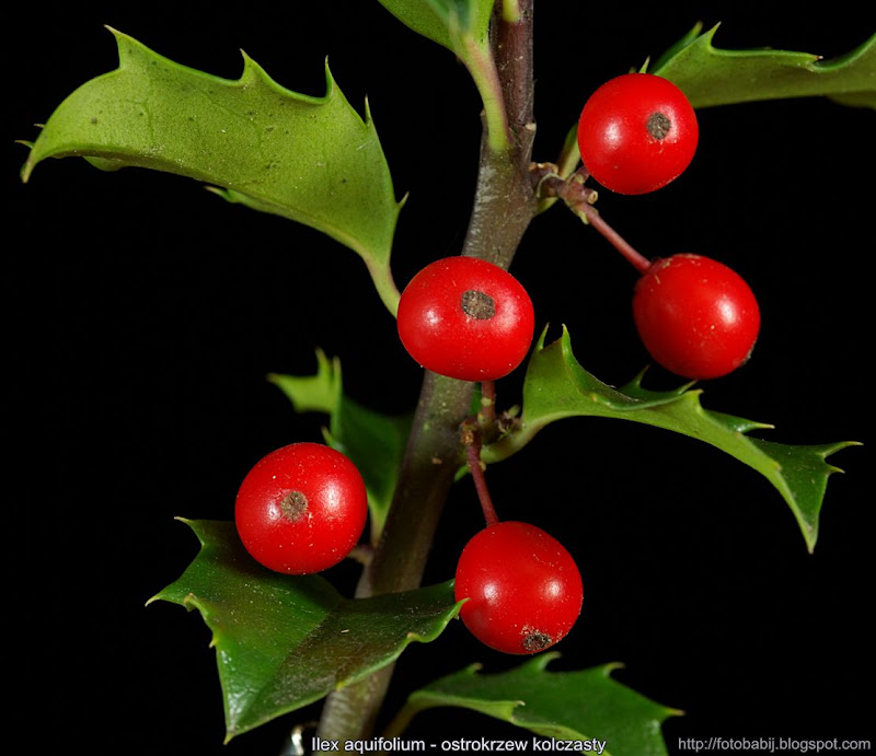 Ilex aquifolium fruits  - Ostrokrzew kolczasty owoce