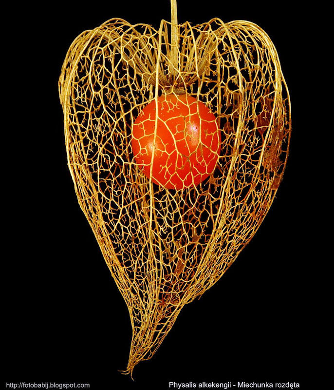 Physalis alkekengi fruit - Miechunka rozdęta owoc