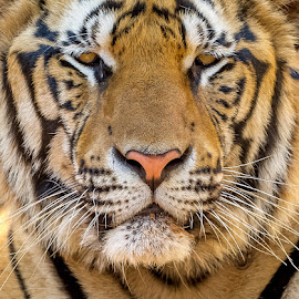 Respect by Manal Ali - Animals Lions, Tigers & Big Cats ( animals, tiger, 2014, tiger temple, thailand, animal,  )