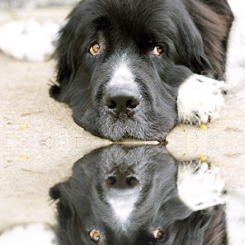 Reflections by On the Lake Photography - Animals - Dogs Portraits ( landseer, newfoundland, soul, dog, newfoundland dog )