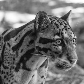 Clouded Leopard Concentration by Jennifer McWhirt - Black & White Animals ( mammals, big cats, animals, photographybyjenmcwhirt.com, black and white, nashville zoo, clouded leopard )