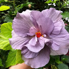 Layered purple hibiscus flower