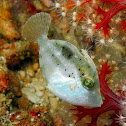 Japanese Leatherjacket (juvenile)