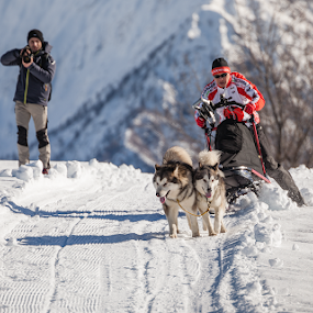 Malamute Day 2014 - Alpe Giumello by Erik Pettinari - Animals Other Mammals ( winter, sleddog, snow, malamute, italy, alps )