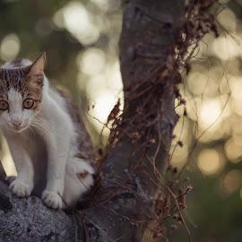 stare.. by Milan Holic - Animals - Cats Kittens ( kitten, on the tree, animal,  )