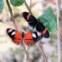 Crimson-patched Longwing (the black winged individual)