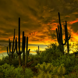Honeybee by Michael Otter - Landscapes Sunsets & Sunrises ( desert, sunset, saguaro )